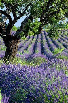 Lavendel geeft mij een vakantiegevoel. Prachtig.