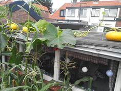 Pompoenen op het schuurdak #pumpkins on the barn roof # moestuin #gardening #ediblegarden #etenuitdetuin