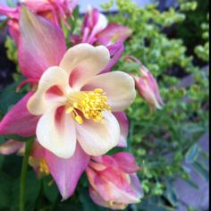 Columbine - these are beautiful but it looks like they only bloom in the spring... good news they re-seed themselves and are very easy to grow!