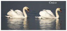 https://flic.kr/p/yu7KR5 | mute swans-Cygnus olor | shropshire