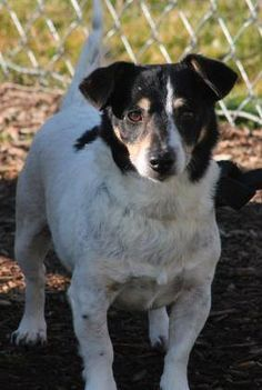 RESCUED>NAME: Tod  ANIMAL ID: 30968177  BREED: JRT  SEX: male (neutered)  EST. AGE: 7 yr  Est Weight: 12.8 lbs  Health: Heartworm neg, ear infection (being treated)  Temperament: dog friendly, people friendly  ADDITIONAL INFO: RESCUE PULL FEE: $35  Intake date: 2/29  Available: Needs to be out of the shelter on 3/7