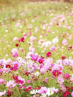 Cosmos Dwarf Sensation Ground Cover - Candy Land by Live Mulch #cosmos #groundcover