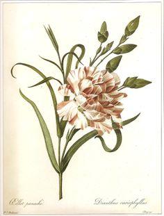 Eillet Panache Dianthus Cariophyllus