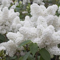 "~ incredible ""angel white"" lilac, beautiful~"