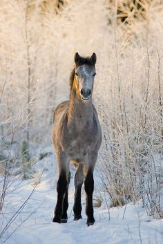 Stunning horse standing the the snow and frosty bushes.