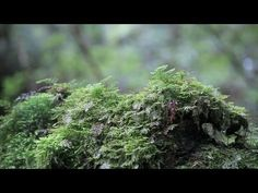 Moss Forest in the Rain [白谷雲水峡/屋久島] - YouTube