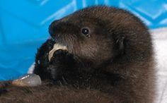 Cute sea #otters at #Shedd #Aquarium | www.sheddaquarium.org/sea-otters