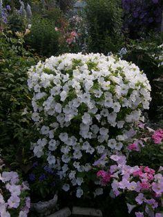 Petunia Surfinia 'White'