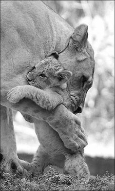 crescentmoon b & w Cute Baby Animals, Animals And Pets, Funny Animals, Lion Pictures, Animal Pictures, Beautiful Cats, Animals Beautiful, Lioness And Cubs, Lion Photography
