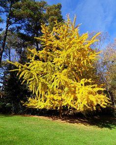 beautiful Ginko tree~