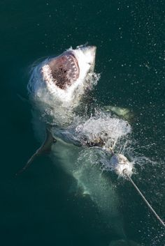 Great White Shark, Gansbaai, South Africa 2006
