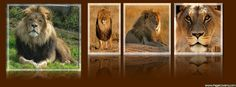 Lion Facebook Cover - PageCovers.com
