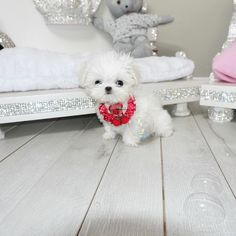 Tiny Maltese Cherry is for sale  she is perfect !!!  www.tea-cup-yorkies.com #maltese #malteselovers #maltesepuppies#puppies #puppiesforsale #cute#love#baby#white #fluffy #babydoll#small #micro #teacup