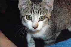 Razmus, around the time we first brought her in. We had found her in a bush next to a freeway in 95 degree weather in the summer. She was underfed and dehydrated, and very happy to be brought with us for food @ 3@