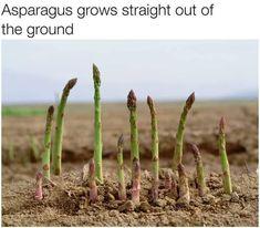 How asparagus grows...