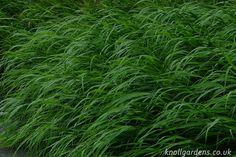 Hakonechloa macra   Knoll Gardens   Ornamental Grasses and Flowering Perennials