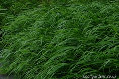 Hakonechloa macra | Knoll Gardens | Ornamental Grasses and Flowering Perennials