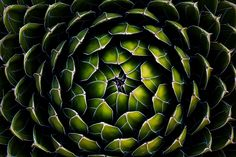 Green Queen - I'm a huge fan (pun not intended) of agaves, yuccas, and aloes. This is a Queen Victoria agave, definitely the best specimen I have seen. Symmetry Photography, Levitation Photography, Pattern Photography, Texture Photography, Winter Photography, Abstract Photography, Macro Photography, Experimental Photography, Urban Photography