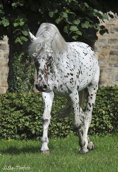 Knabstrupper (Classical type) stallion Boxter aus der Schützenden Hand