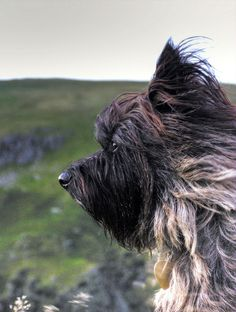 cairn terrier Poppy is beautiful - from Flickr