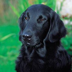 Flat-Coated Retriever looks a lot like my Shadow, even though she's not full blood
