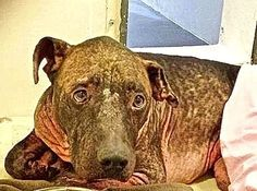 Dog suffering with painful skin condition waiting for help at high-kill shelter...The shelter is located at 216 Victoria Street. You can call the shelter at (310) 523 9566. The shelter's hours are 12:00 p.m. to 7:00 p.m. Monday through Thursday and 10:00 a.m. to 5:00 p.m. Friday through Sunday.