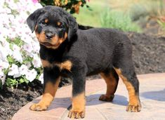 Meet SADIE a cute Rottweiler puppy for sale for 500. AKC