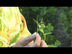 T.J. Rodgers On How and Why To Tip Grape Vines