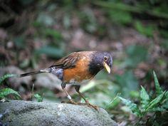 Izu Islands thrush(Turdus celaenops): Natural Monument of Japan アカコッコ▶天然記念物