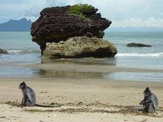 Silver Leaf Monkeys (silvered langurs) on the beach at Bako National Park, near Kuching, in Sarawak (Malaysian Borneo).