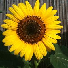 Sunflower Garden Of Eden, Lawn And Garden, Pocket Full Of Sunshine, Sunflowers, Gardens, Party, Photos, Gardening, Garten