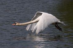Google Image Result for http://www.deviantart.com/download/206525748/swan_in_flight__2_by_furlined-d3eykac.jpg