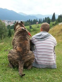 Varro / Presa Canario from Varro Bull Kennel in Romania Mastiff Breeds, Mastiff Dogs, Cute Dogs Breeds, Large Dog Breeds, Giant Dogs, Big Dogs, Beautiful Dogs, Animals Beautiful, Kangal Dog