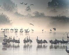 Common Cranes at dawn in the Hula Valley in Israel
