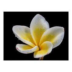 Customizable #Amazing #Beautiful #Best #Birthday #Bloom #Colorful #Colors #Daughter #Floral #Flower #For #Frangipani #Green #Her #Mother #Nature #Plumeria #Top #White #Wild #Yellow #Zazzle Beautiful white-yellow Plumeria flower Poster available WorldWide on http://bit.ly/2fl3rRe