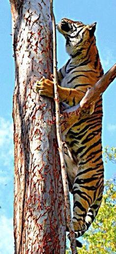 Climbing Tiger   Mauritius (http://www.facebook.com/BeautyOfMauritius)