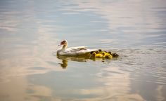mother duck Photo by Kasumpa katapa -- National Geographic Your Shot