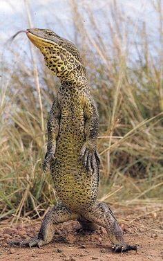 The Australian Goanna can grow as large as 8 feet Reptile lizard Reptiles And Amphibians, Les Reptiles, Mammals, Beautiful Creatures, Animals Beautiful, Animals And Pets, Cute Animals, Monitor Lizard, Australian Birds