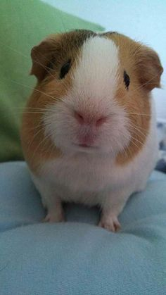Why You Shouldn't Purchase A Guinea Pig At A Pet Store. You visit a pet store and you instantly fall in love with a cer Pet Guinea Pigs, Guinea Pig Care, Pet Pigs, Cute Little Animals, Little Pigs, Fluffy Animals, Animals And Pets, Happy Animals, Hamsters