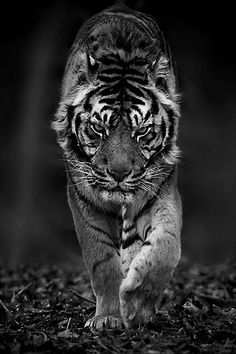 Here are some great pictures of Fabulous Tiger Photography. Tiger live in grasslands where it makes easier for them to hunt various animals for their food. Beautiful Cats, Animals Beautiful, Tiger Fotografie, Animals And Pets, Cute Animals, Animals Images, Nature Animals, Animal Pictures, Funny Animals