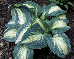 Hosta High Society