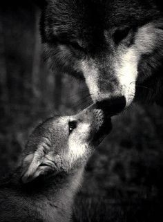 Mama Wolf is fiercely loving and protective of her babe. All of us Mom's have something in common. Mama Wolf is fiercely loving and protective of her babe. All of us Mom's have something in common. Wolf Spirit, My Spirit Animal, My Animal, Wolf Pictures, Animal Pictures, Beautiful Creatures, Animals Beautiful, Tier Wolf, Baby Animals