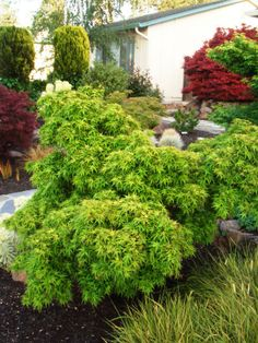 Planting and Caring for Japanese Maples