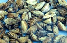 Zebra mussels are small freshwater mollusks that have started growing in various lakes of United States. A zebra mussel gets its name from the striped shell, which are usually in black and white but can be of other colors also.