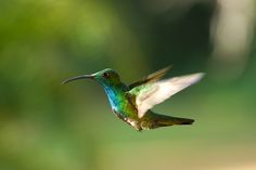 The Hummingbird in Flight...