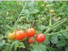"""rajče divoké červené"" Vegetables, Vegetable Recipes, Veggie Food, Veggies"