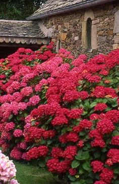 'Red Baron' pot de 2 litres - Hortensia - Nos plantes Hortensia Hydrangea, Hydrangea Garden, Very Beautiful Flowers, Love Flowers, Outdoor Landscaping, Outdoor Gardens, Peonies And Hydrangeas, Blooming Flowers, Trees And Shrubs