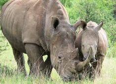 Mama rhino and baby