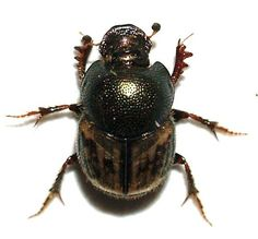 Onthophagus hoepfneri