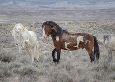 Cosmo and Kiowa, Sand Wash Basin stallions. Photo by Katy Simpson, Rabbitbrush Photography.